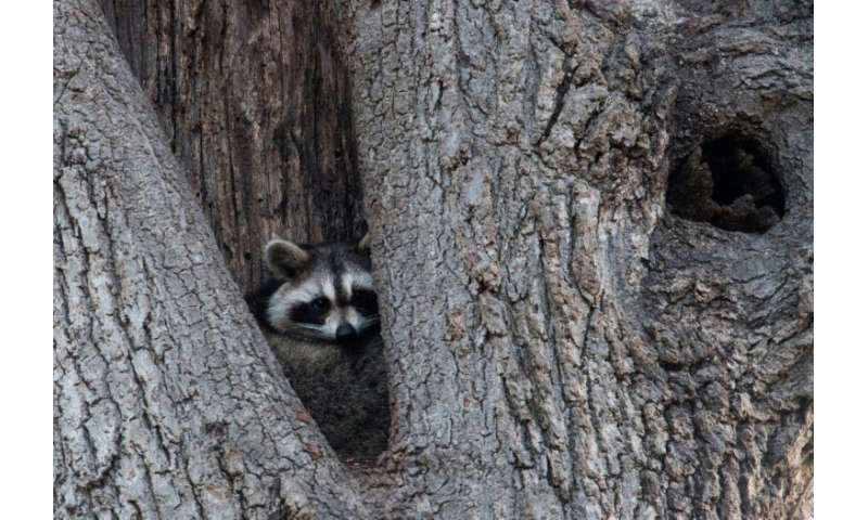 Raccoons are one of more than 600 species of wild animals living in the New York area