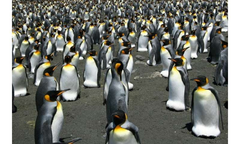 Recent satellite images and photos taken from helicopters show the king penguin population on Ile aux Cochon has collapsed, with