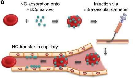 Red-blood-cell 'hitchhikers' offer new way to transport drugs to specific targets