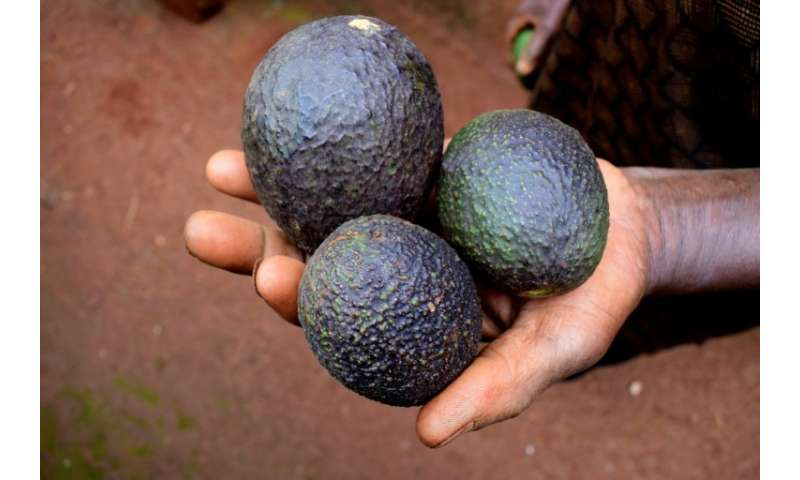 Renowned as a healthy food, full of vitamins, fibre and trace elements, avocado is becoming a staple of European diets