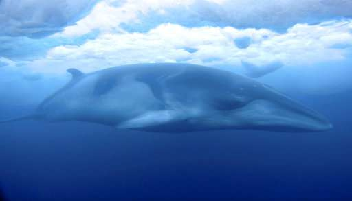 Researcher captures striking Antarctic video of minke whale