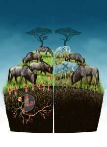 Researchers quantify nutritional value of soil fungi to the Serengeti food web