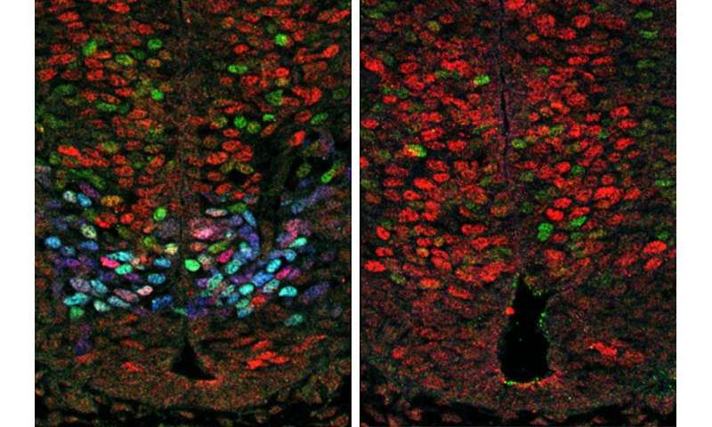 Research uncovers gene network that regulates motor neuron formation during embryonic development
