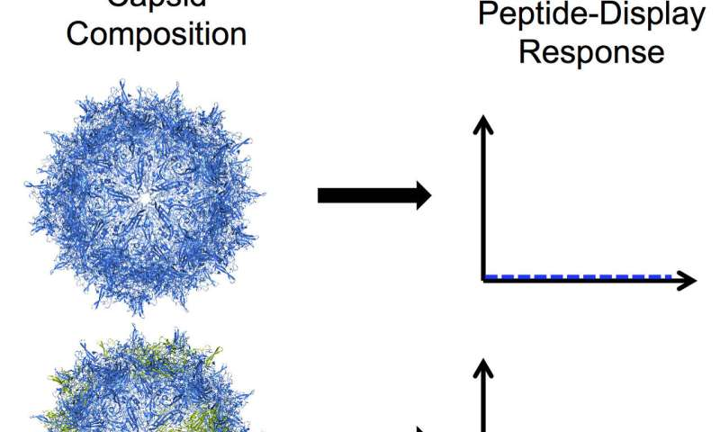 Rice University lab modifies nanoscale virus to deliver peptide drugs to cells, tissues