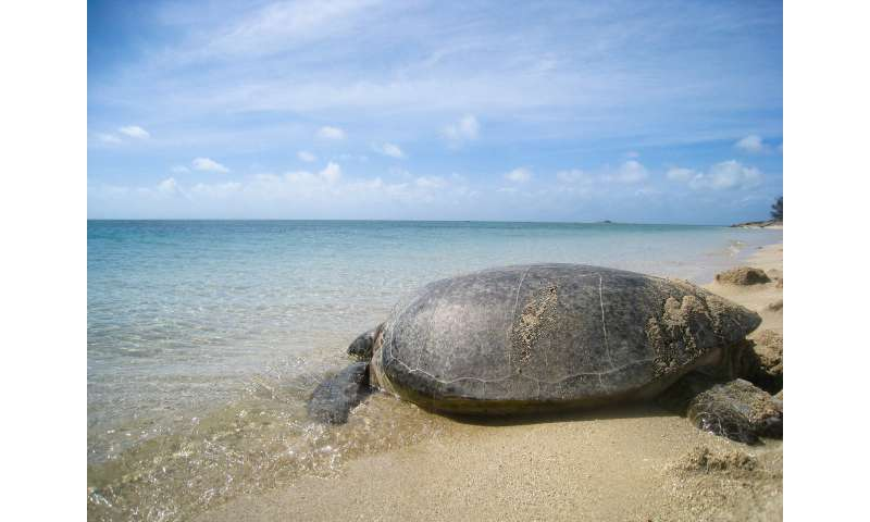 Rising temperatures turning major sea turtle population female