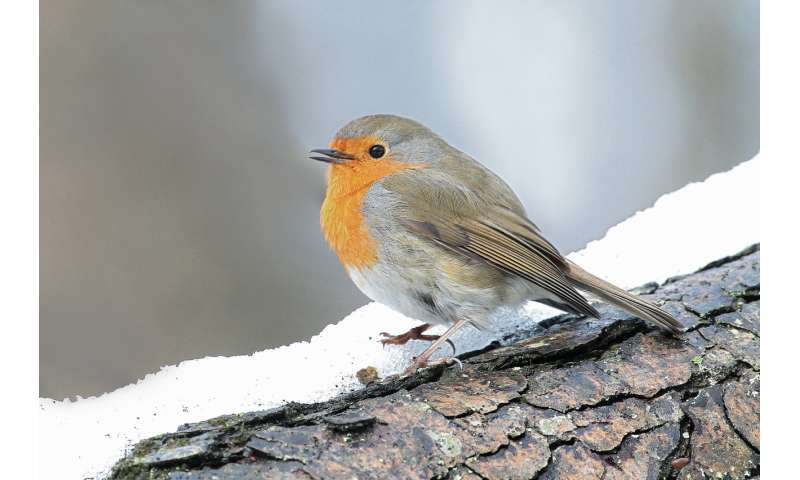 Robin hushed: wind turbines are making songbirds change their tune