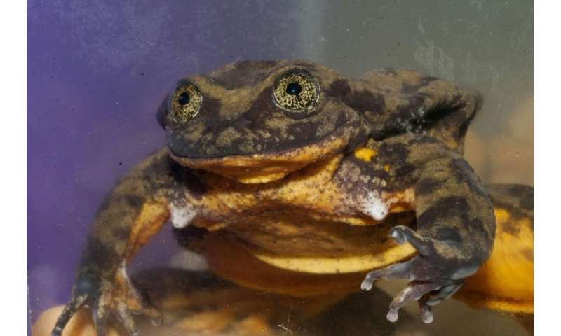 Romeo, a Sehuencas water frog (Telmatobius yuracare), alone in his tank at the Natural History Museum in Cochabamba, Bolivia