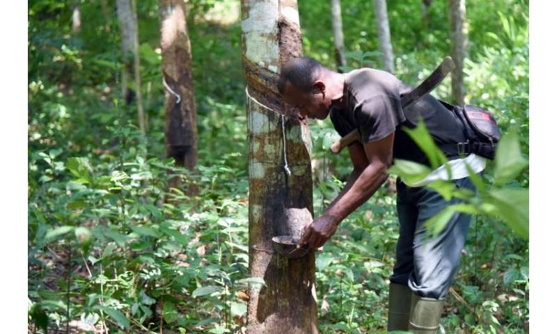 Rubber trees take six to seven years to mature before they can be tapped, a process which involves making incisions in the tree'