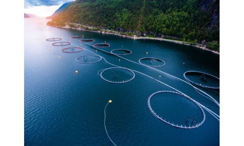 Salmon farms are in crisis – here's how scientists are trying to save them