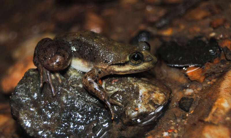 Sanctuary for a frog on the slippery slope to extinction