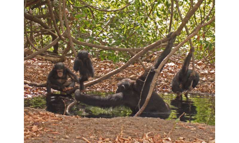 Savanna chimpanzees suffer from heat stress