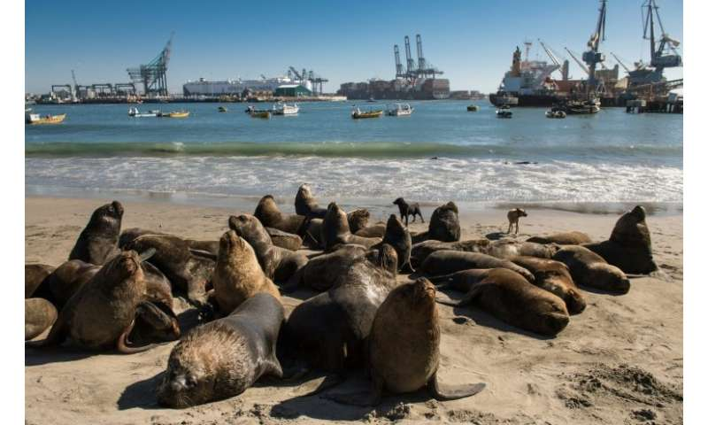 Sea lions hang around on the beach or under the wharf at San Antonio port waiting for fishermen to discard the scraps and entrai