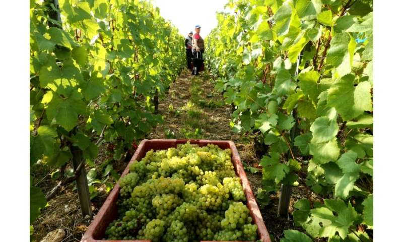 Selling grapes to the big champagne houses, which own little land, is one option for small growers
