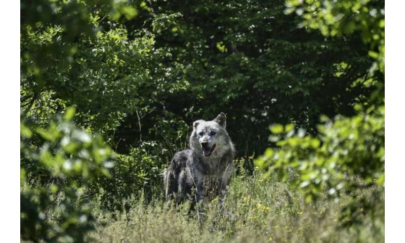 Seven wolves share 17 acres of oak forest, with their population set to double as seven more arrive from a zoo in Italy