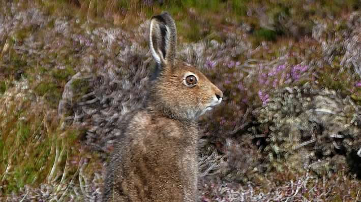 Severe declines of mountain hares on Scottish grouse moors