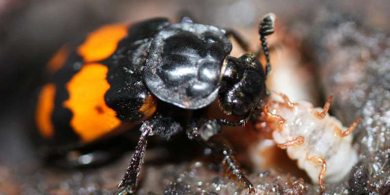 Sharing parenting leads to healthier young, beetle study finds