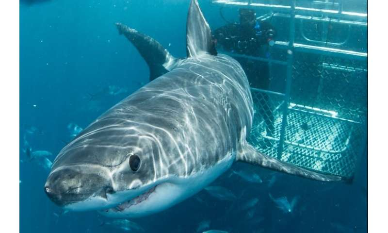 Shark tourism a 'hook' for conservation