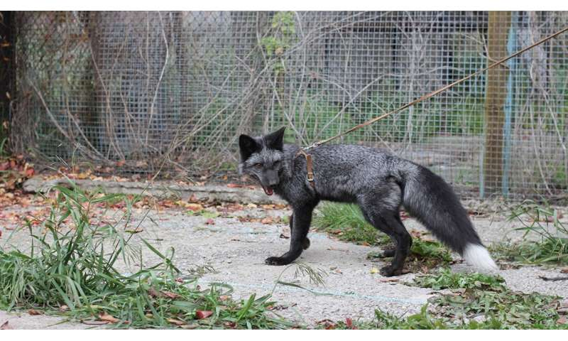 Silver fox study reveals genetic clues to social behavior