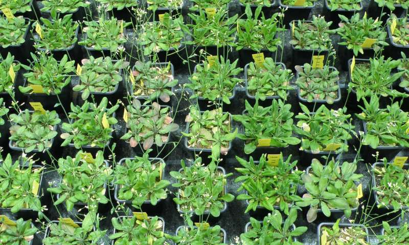 Small genetic differences turn plants into better teams
