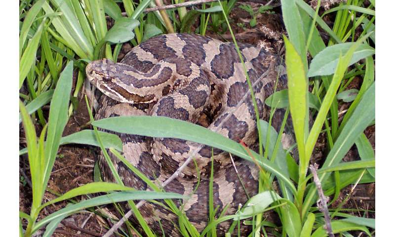 Snake fungal disease alters skin microbiome in eastern