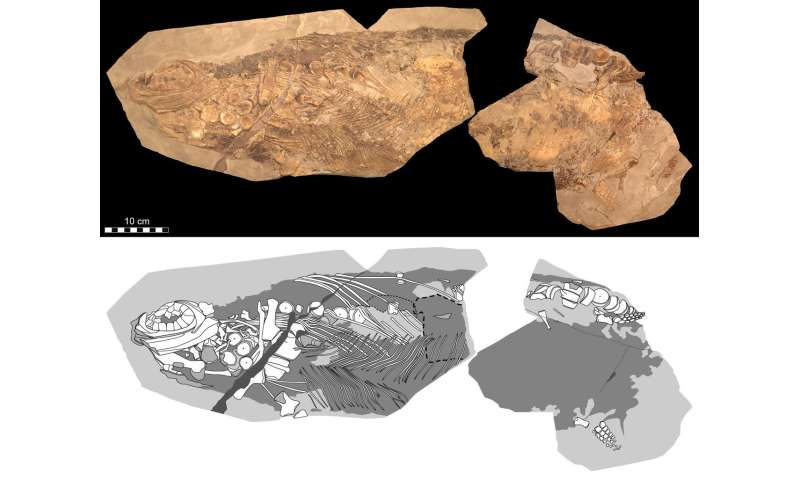 Soft tissue shows Jurassic ichthyosaur was warm-blooded, had blubber and camouflage