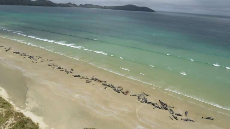 Some 145 pilot whales all died after they beached last weekend at Stewart Island, off the southern coast of the South Island