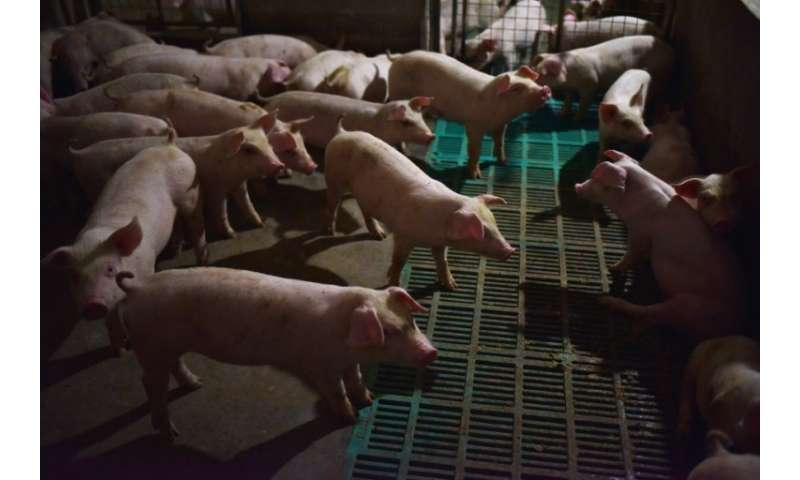 Some 600,000 pigs have been culled since African swine fever was first detected in August in the world's biggest consumer and pr