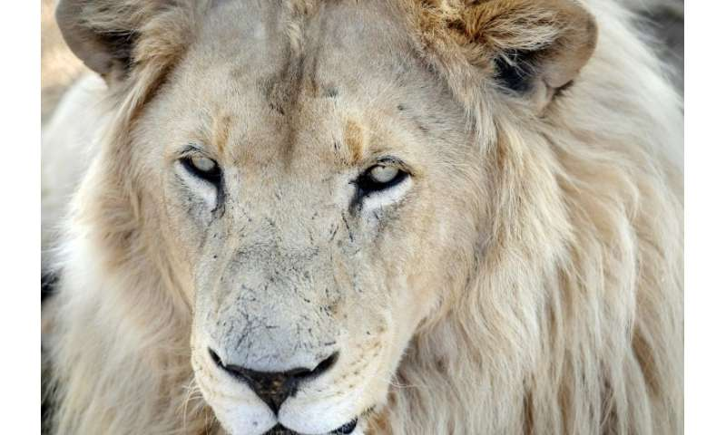 South Africa has as many as 8,000 lions in captivity being bred for hunting, the bone trade, tourism and academic research, acco