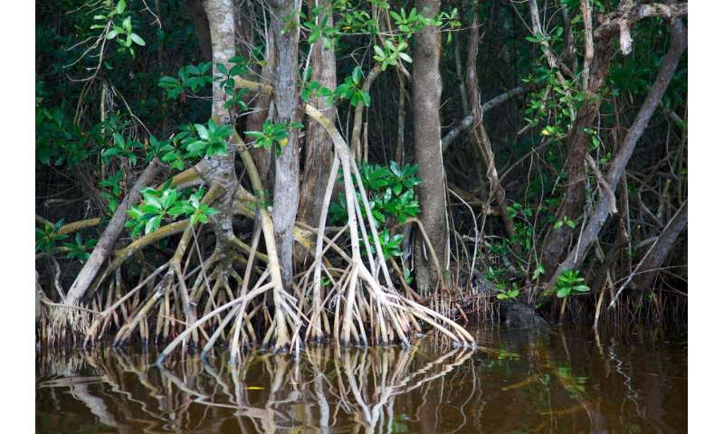 South Florida mangroves are on a death march, marking a new era for Earth