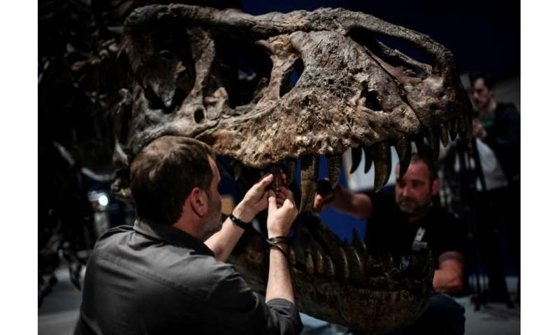Specialists carefully assembled the bones of the skeleton of a Tyrannosaurus rex dinosaur