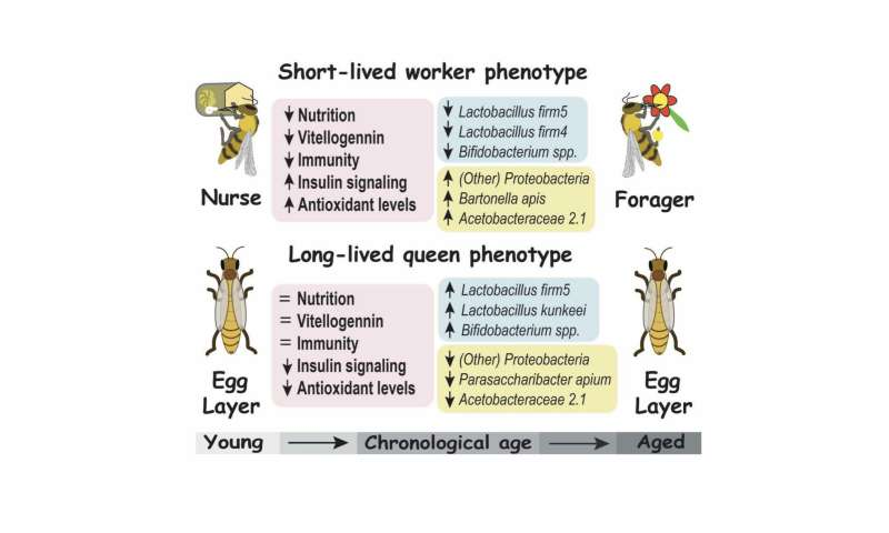 Species shifts in the honey bee microbiome differ with age and hive role