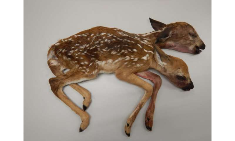 Stillborn Announces First Known Connected Deer