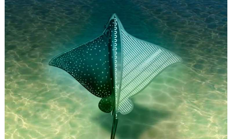 Stingray soft robot could lead to bio-inspired robotics