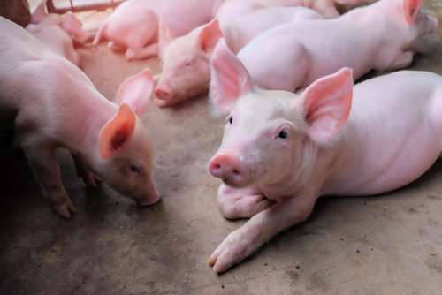 Stress is bad for your body, but how? Studying piglets may shed light