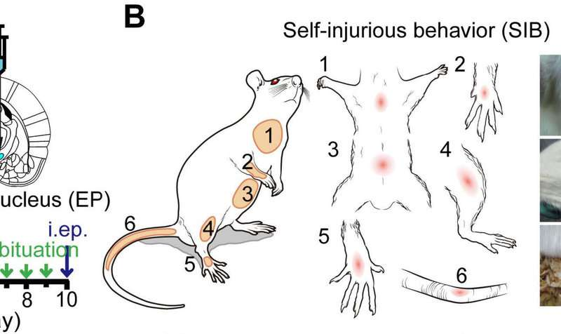 Stress regulates self-harm in rats