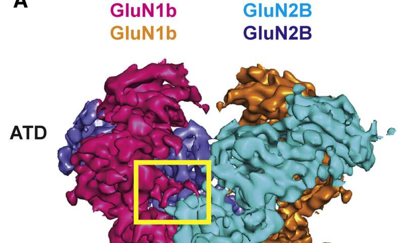 Structural variation in key brain receptor enables it to cope with hostile condition