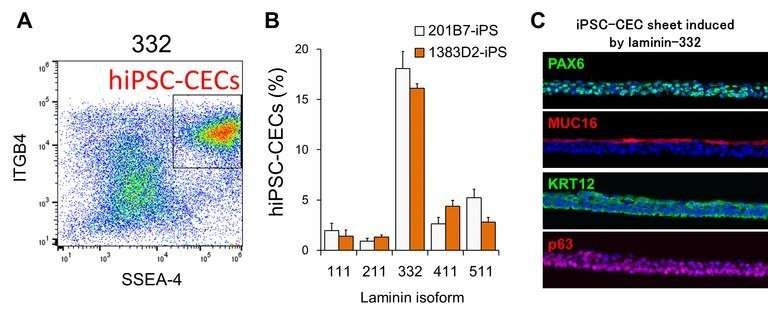 Study differentiates iPS cells into various ocular lineages