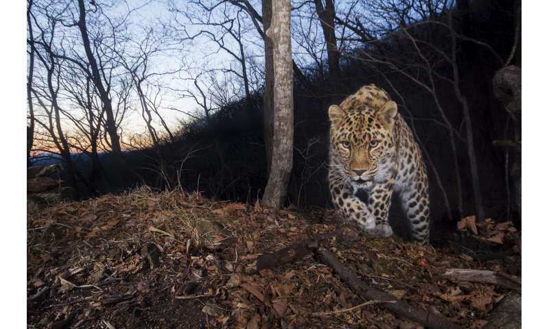 Study finds 84 highly endangered Amur leopards remain in China and Russia