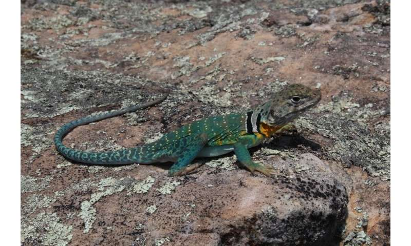 Study links decline in Ozarks lizard population to fire suppression