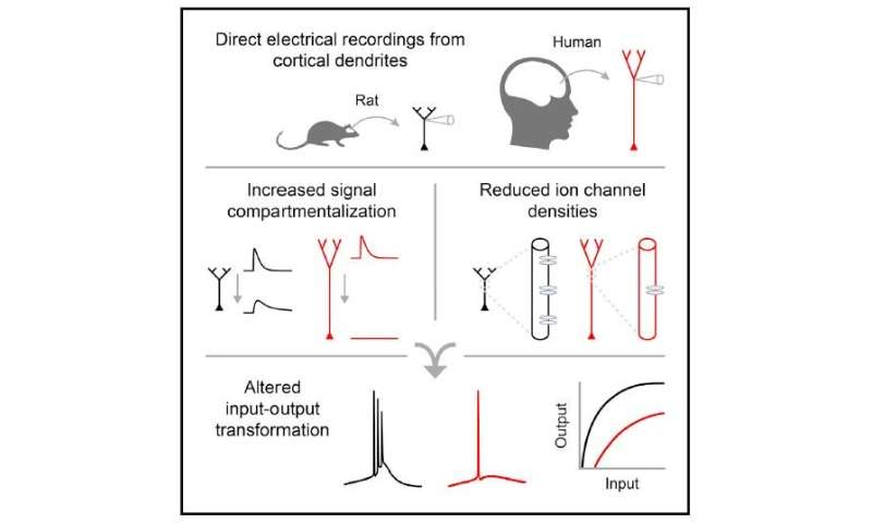 Study pinpoints what makes human neurons unique