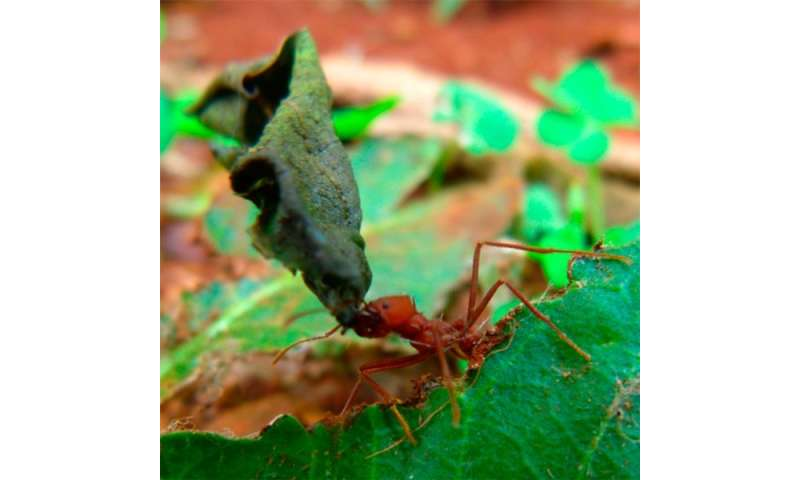 Substance that guides ant trail is produced by symbiotic bacteria