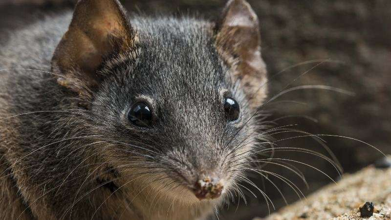 Suicidally-sexed marsupials listed as endangered