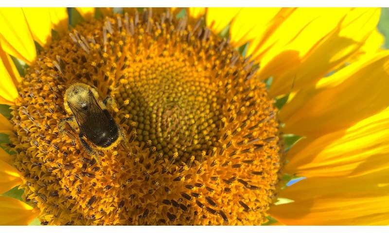 Sunflower pollen has medicinal, protective effects on bees