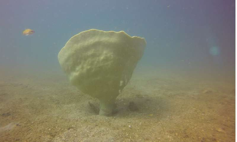 Super-rare giant sponge discovered in seahorse hotspot