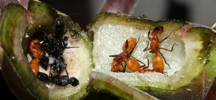 Taking a piece of home with you: Farming fungi in a new Azteca ant colony