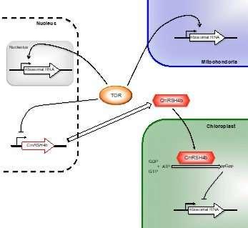 Target of rapamycin: Linking cytosolic and chloroplast ribosome biogenesis in plants