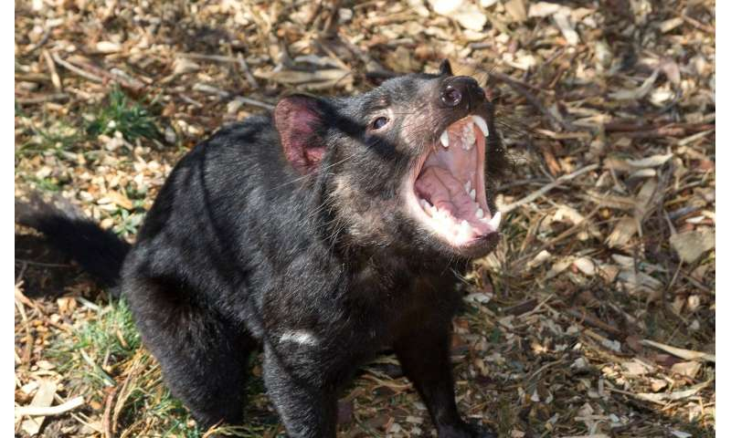 Tasmanian devils under new threat from cancer research finds - Tasmanian devil pics ...