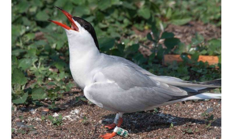 Terns face challenges when they fly south for winter