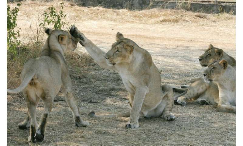 The Asiatic lion population has come under threat due to hunting and human encroachment on its habitat