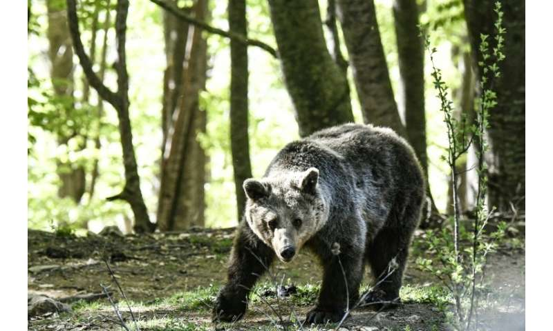 The bears live in five hectares of beech forest on the mountain, donated by the local municipality